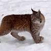 Lynx_Joslyn avatar