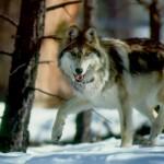 Webwolf13 avatar
